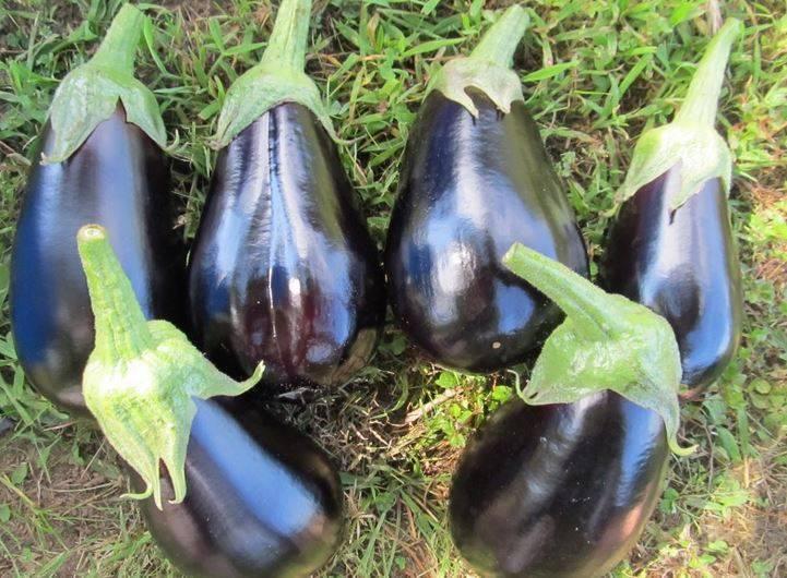 Сорта круглых баклажан: фото с названием и описанием, особенности выращивания