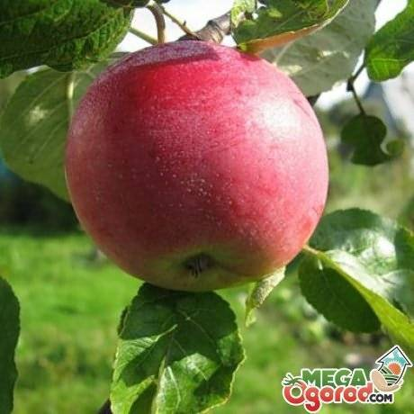 Сортовая колоновидная яблоня васюган