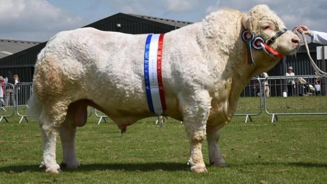 Айрширская корова: характеристика породы и особенности разведения