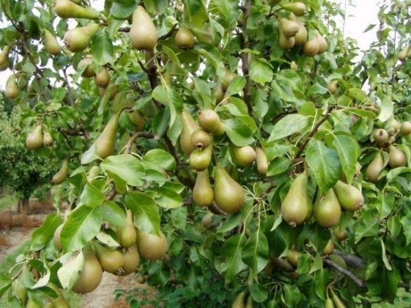 Груша конференция — характеристика, особенности выращивания и ухода