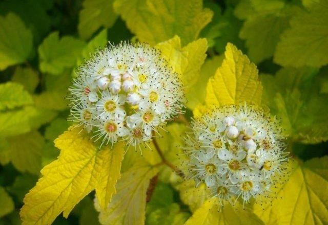 Пузыреплодник калинолистный: сорта, посадка и уход в открытом грунте
