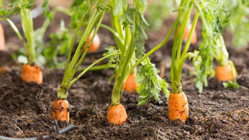 Морковь витаминная 6: описание, фото, отзывы