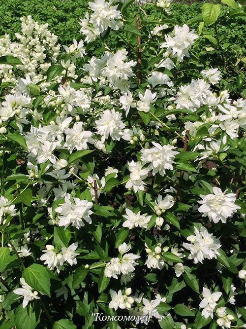 Чубушник или садовый жасмин в сибири — распространенные виды, размножение, тонкости ухода