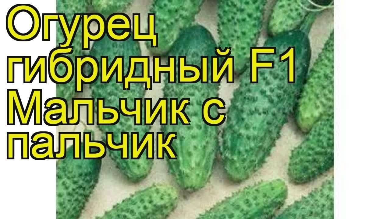 Огурец «пальчик»: достойный сорт для приусадебного овощеводства
