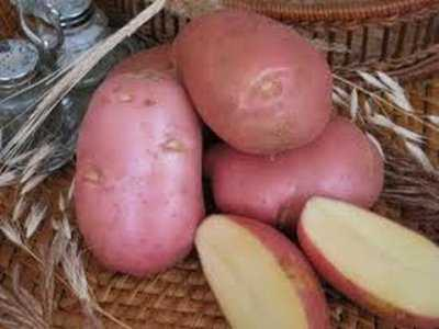 Описание и характеристика картофеля сорт «красавчик»