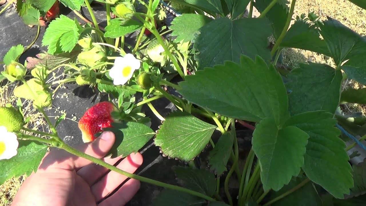Описание и характеристики сорта клубники джоли, выращивание и размножение
