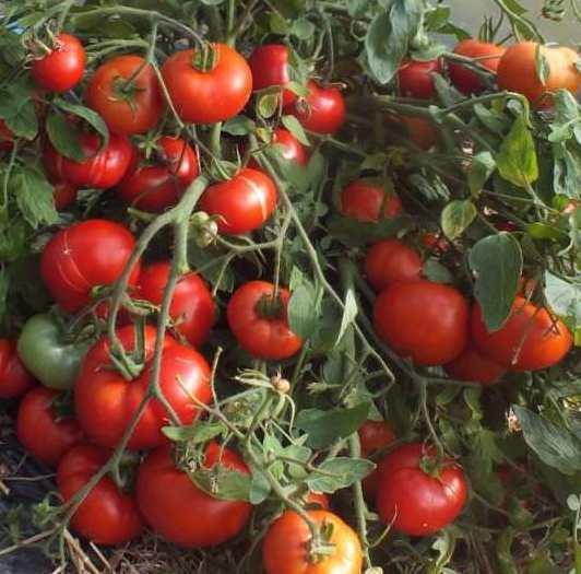 Томат лакомка: описание сорта, характеристика, отзывы об урожайности, фото – все о помидорках