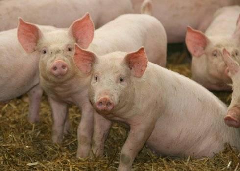 Зачем нужна кастрация свиней, как и в каком возрасте она проводится?