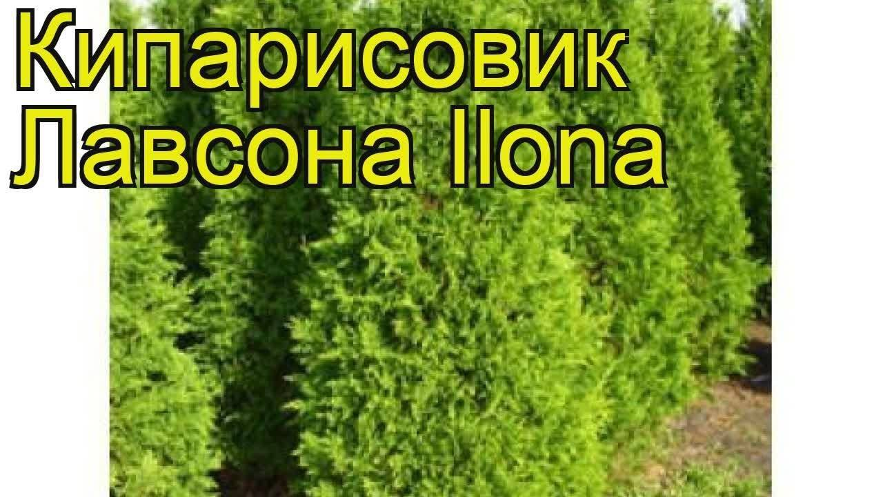 Кипарисовик лавсона - внешний вид, условия для выращивания