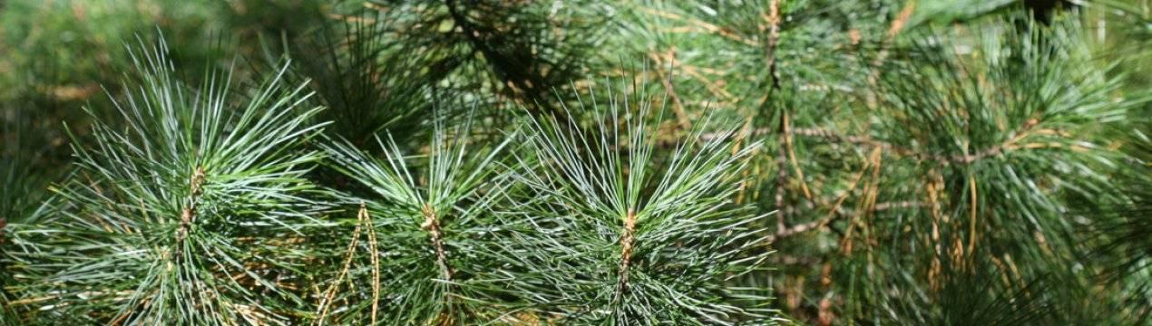 Наиболее известные виды вечнозеленого хвойного дерева – кедровой сосны