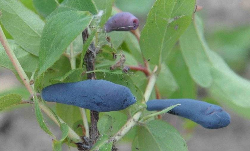 Жимолость съедобная крупноплодная югана: плюсы и минусы