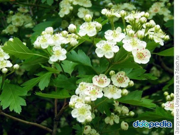 Боярышник: посадка и уход за растением в открытом грунте