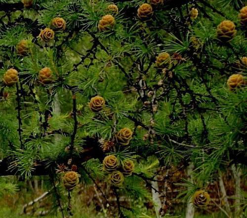 Лилия даурская (20 фото): описание лилии пенсильванской. правила ее посадки. особенности ухода