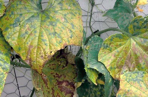Причины пожелтения и высыхания листьев у лилейников в открытом грунте. причины заболевания