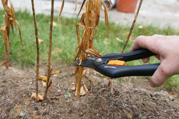 Как обрезать флоксы после цветения. надо ли обрезать флоксы после цветения летом. весенняя посадка флокса. когда сажать флоксы. зачем готовить флоксы к зиме