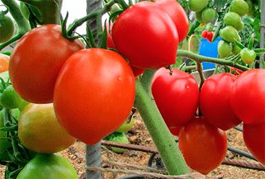 """Томат """"микадо розовый"""": описание сорта помидоров с фото"""