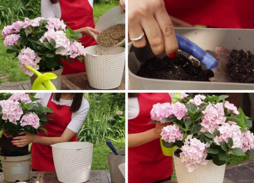 Как сохранить саженцы гортензии до весны: в квартире и подвале