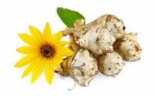 Полезный и неприхотливый корнеплод — топинамбур. выращивание и правила посадки, а также рекомендации по уходу