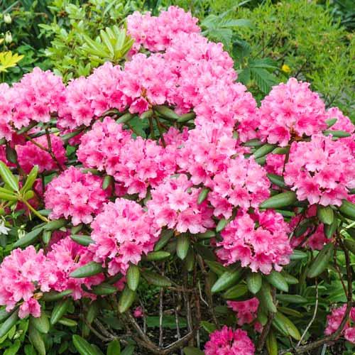 Хотите красивый сад в любую погоду? посадите у себя морозостойкий рододендрон «гаага»