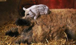 Венгерская мангалица свинья. описание, особенности, уход и цена венгерской мангалицы | животный мир