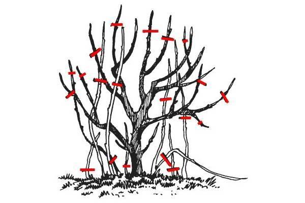 Как обрезать смородину весной: рекомендации для начинающих садоводов