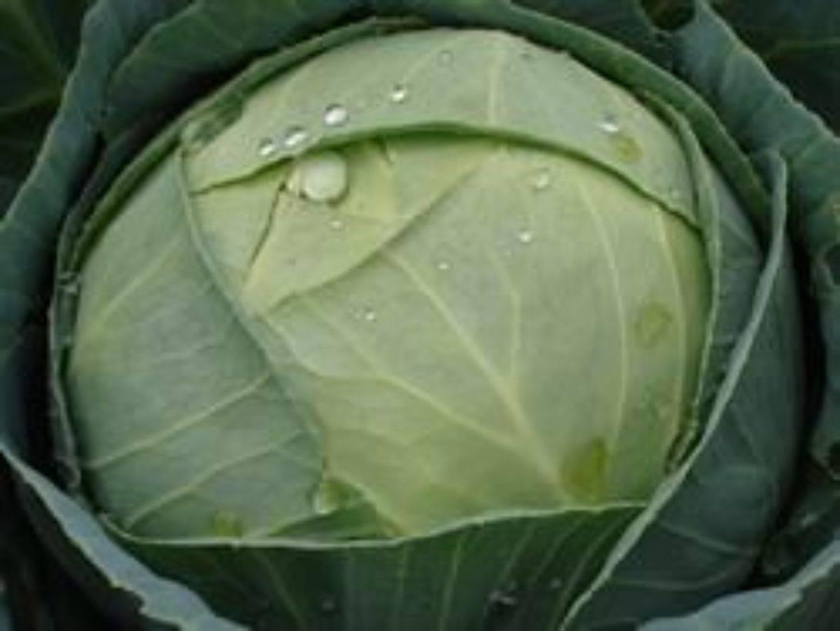 """Капуста """"атрия"""" f1: описание сорта, свойства гибрида, выращивание, склонность к заболеваниям"""