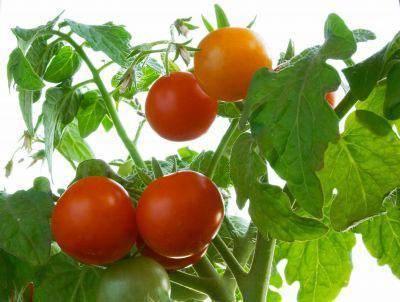Новые самые урожайные голландские сорта помидор | образцовая усадьба