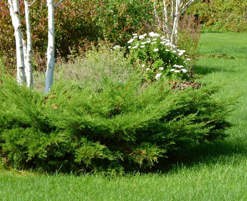 Стрижка хвойных и лиственных растений