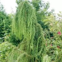 Можжевельник «олд голд»: рекомендации по выращиванию и использованию в декоре приусадебного участка