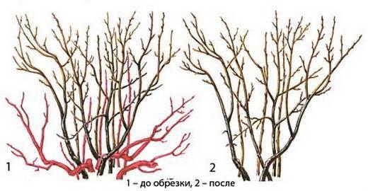 Обрезка кустов осенью: роз, клематисов, гортензий, спиреи, жасмина, гибискуса и пионов