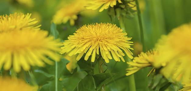 Польза и вред чая из одуванчиков: рецепт из корня, листьев, цветков