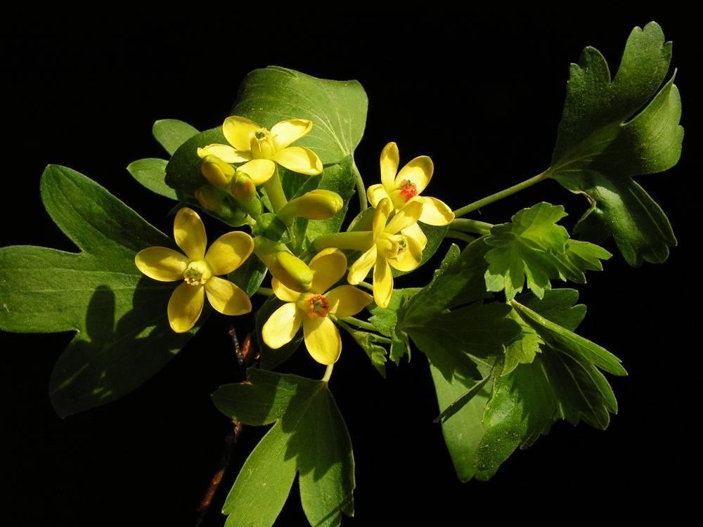 Золотистая смородина: описание 15 сортов, размножение, выращивание и уход с фото