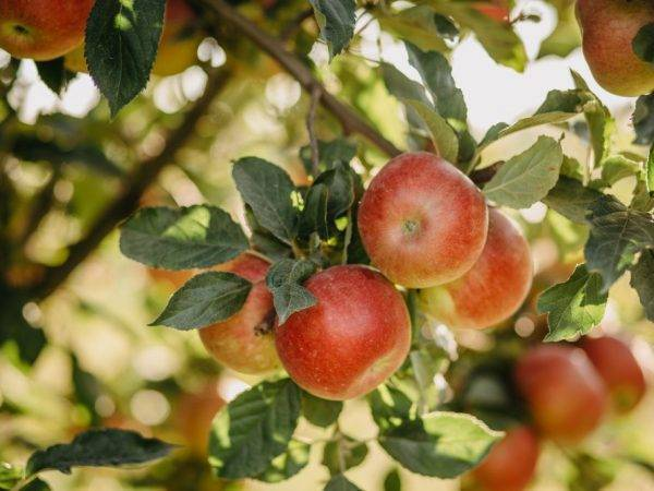 Ботаническое описание и агротехника выращивание яблони сорта башкирский красавец
