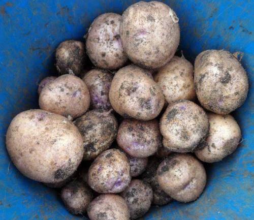 Картофель метеор — описание сорта, фото, отзывы, посадка и уход