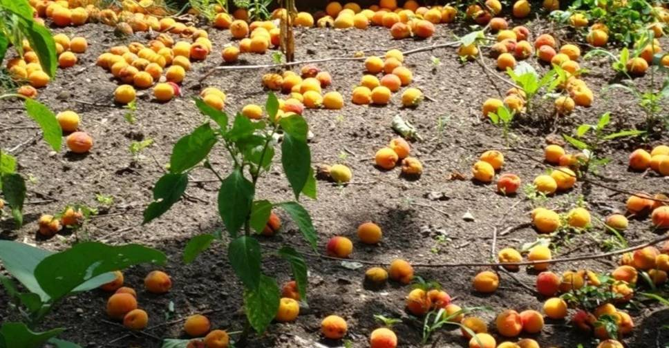 Болезни вишни и борьба с ними: фото и описание
