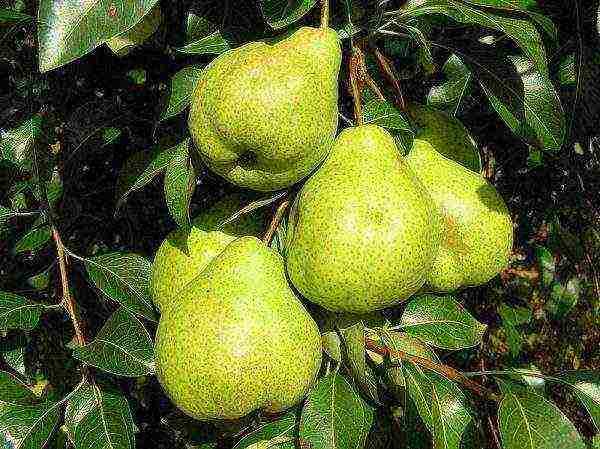 Сорт груши Вильямс: фото и описание сорта