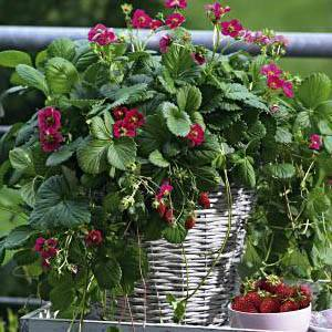 Клубника тоскана — стоит ли выращивать на своем участке?