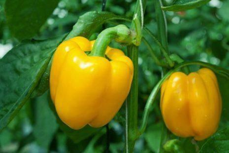 Толтостенные плоды, устойчивые к болезням — перец красный великан: полное описание сорта