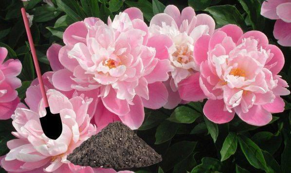 Подкормка пионов весной. 8 вариантов, чем подкормить пионы весной.   красивый дом и сад
