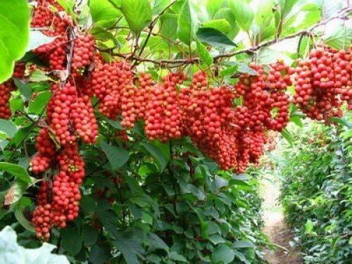 Посадка и уход за китайским лимонником в открытом грунте