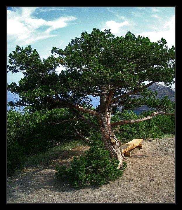Можжевельник – виды и сорта