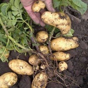 Ваша удача ждёт вас в огороде: один из самых урожайных сортов картофеля