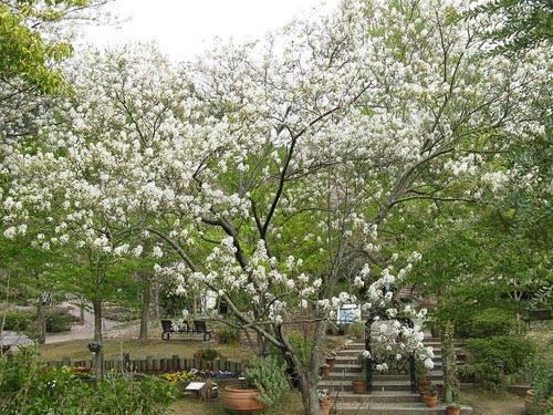 Ягода ирга — как посадить и ухаживать