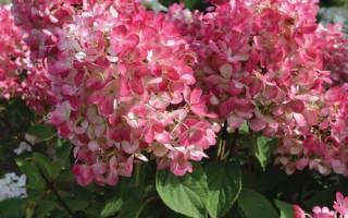 Посадка гортензии вимс ред и уход за ней: правила выращивания в открытом грунте
