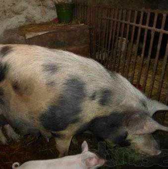 Ландрас порода свиней: характеристика