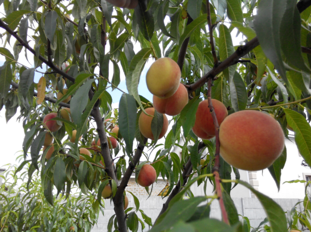 Сорт персика фаворит
