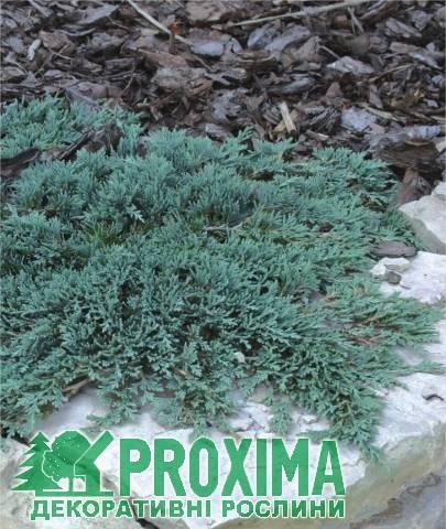 Можжевельник прибрежный блю пасифик (juniperus conferta blue pacific)