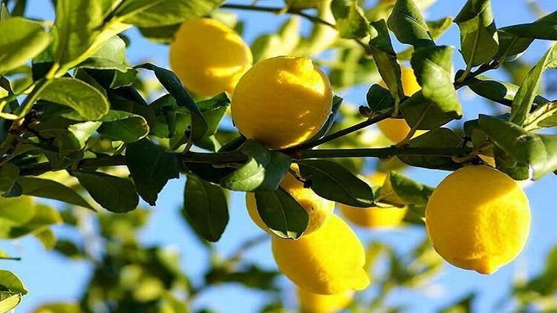 Лимон это фрукт или овощ?
