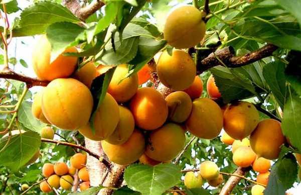 Абрикос киевский ранний – популярный среди садоводов морозостойкий сорт