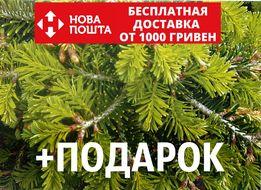 Правила посадки и ухода за пихтой нордмана: яркая зелёная деталь в саду!